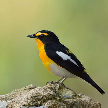 inter: Yellow-rumped flycatcher (Ficedula zanthopygia) the beautiful yellow bird perching on top of the rock in eye brow re-painted as Narcissus flycatcher Stock Photo