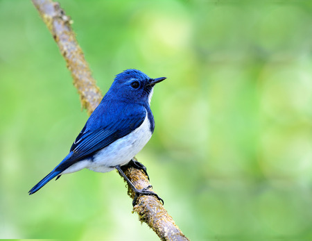 ultramarine blue: Ultramarine flycatcher or white-browed blue flycatcher (Ficedula superciliaris) the beautiful blue bird perching on the vine with green blur and bokeh background