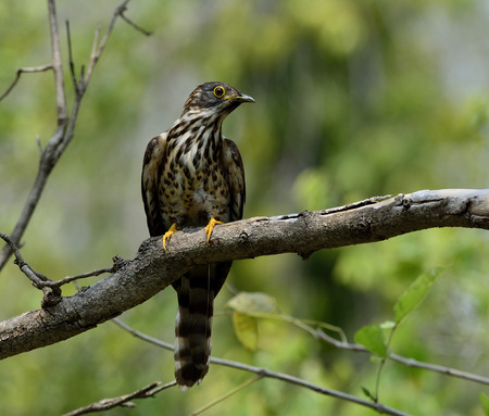 fascinate: Large hawk-cuckoo (Hierococcyx sparverioides) the eagle hawk with yellow eye rings perching on the tree showing its chest feathers profile Stock Photo