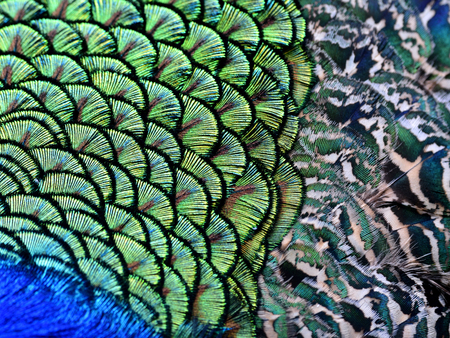 bird feathers: The amazing close up of velvet green patches along with camouflage beisde on Indian Peacock body feathers, the most beautiful bird feathers background