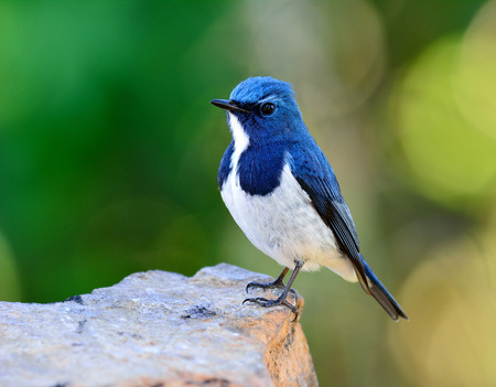ultramarine blue: Ultramarine flycatcher or white-browed blue flycatcher (Ficedula superciliaris) the beautiful blue bird perching on the rock over green blur and bokeh background