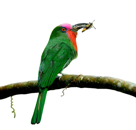 sharp: Male of Red-bearded bee-eater (Nyctyornis amictus) beautiful green bird with red and pink mustache carrying insect in its bills isolated on white background