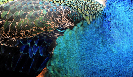 bird feathers: The exotic velvet multicolors of Indian Peacock body feathers, the most beautiful elvet bird feathers