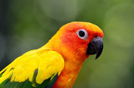 wil: Beautiful Sun parakeet or Sun conure (Aratinga solstitialis) the lovely yellow parrot witn nice green blur background Stock Photo