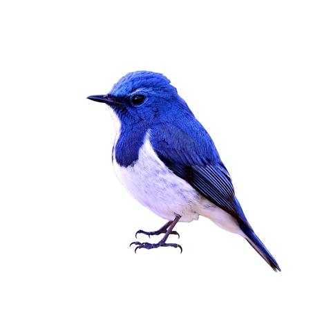 ultramarine blue: Ultramarine flycatcher (Ficedula superciliaris) the most beautiful chubby blue bird isolated on white background