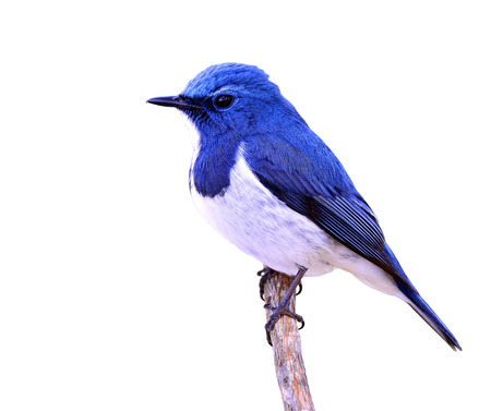 ultramarine blue: Ultramarine flycatcher or white-browed blue flycatcher (Ficedula superciliaris) the beautiful blue bird perching on the stick isolated on white background