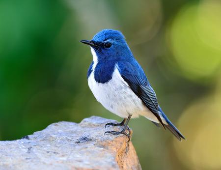 ultramarine blue: Ultramarine flycatcher or white-browed blue flycatcher (Ficedula superciliaris) beautiful little blue bird standing on the rock