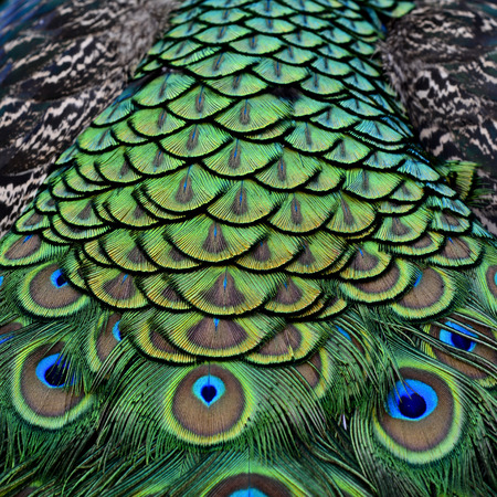 bird feathers: The fascinated velvet green and blue spots on Indian Peacock body feathers, the most beautiful bird feathers background