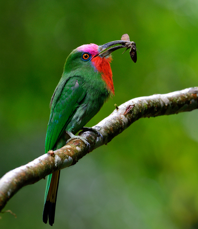 Red-bearded bee-eater (Nyctyornis amictus) the beautiful of parrents green bird with red and pink mustache carrying insect in its long bills to feed the chicks in the nest hole