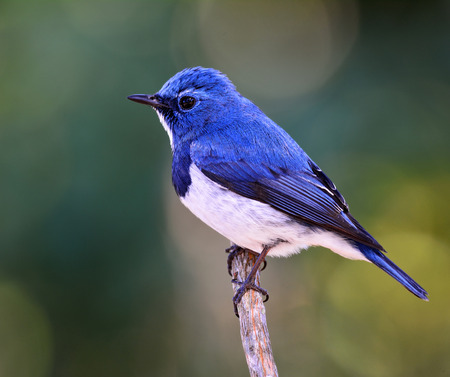 distributed: Ultramarine flycatcher or white-browed blue flycatcher (Ficedula superciliaris) the beautiful blue bird perching on the stick over green blur and bokeh background Stock Photo