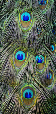 The exotic velvet green and blue spots on Indian Peacock or green peafowl long tail, the most beautiful bird feathers background