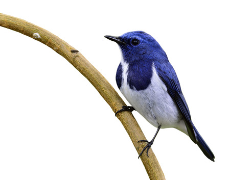 distributed: Ultramarine flycatcher or white-browed blue flycatcher (Ficedula superciliaris) the beautiful blue bird perching on the curve stick isolated on white background Stock Photo