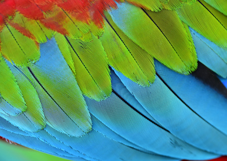 Close up of beautiful blue and green texture of Green-winged macaw parrot bird, exotic background Stock Photo