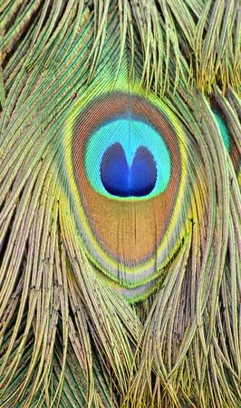 The exotic close up of blue and green spot on Indian Peacock tail, the most beautiful bird feathers