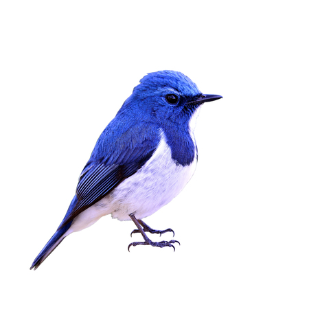 distributed: Ultramarine flycatcher or white-browed blue flycatcher (Ficedula superciliaris) the most beautiful chubby blue bird isolated on white background