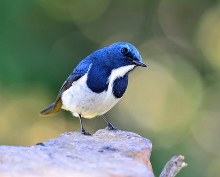 Ultramarine flycatcher or white-browed blue flycatcher (Ficedula superciliaris) beautiful tiny blue bird with cute stance Stock Photo