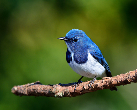 ultramarine blue: Ultramarine flycatcher or white-browed blue flycatcher (Ficedula superciliaris) beautiful little blue bird perching on the pile branch
