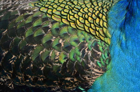 bird feathers: The vevet blue, green quill and body feathers on Green Peafowl or Indian peacock, the colorful texture of bird feathers