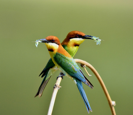 body curve: The sweet pair of chestnut-headed bee-eater (Merops leschenaulti) the beautiful orange head, green body and blue tail birds perching on the curve branch picking the butterfly in their bills to feed chicks in the hole nest