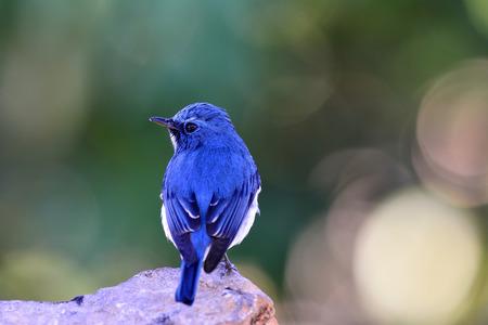 ultramarine: Ultramarine flycatcher or white-browed blue flycatcher (Ficedula superciliaris) beautiful blue bird perching on the rock showing its fine blue back feathers