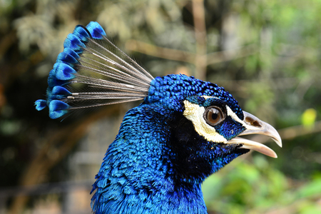 Blue head of Indian Peacock, the most beautiful bird in the world, blue bird