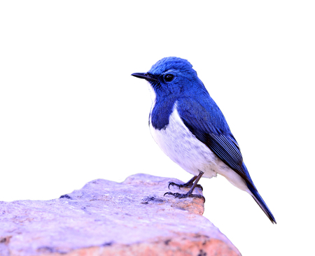 Ultramarine flycatcher or white-browed blue flycatcher (Ficedula superciliaris) the beautiful blue bird perching on the rock isolated on white background