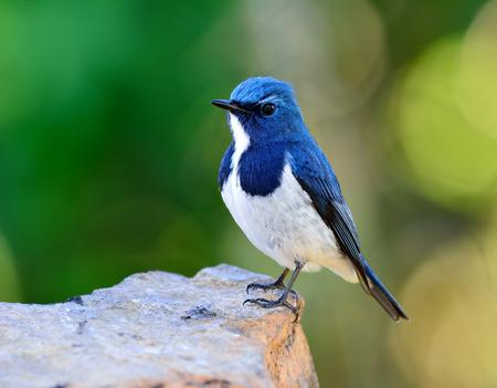 ultramarine: Ultramarine flycatcher or white-browed blue flycatcher (Ficedula superciliaris) the beautiful blue bird perching on the rock over green blur and bokeh background
