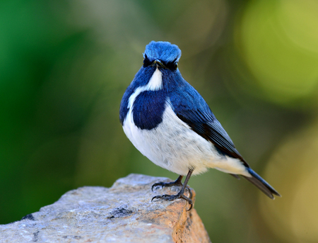 Ultramarine flycatcher or white-browed blue flycatcher (Ficedula superciliaris) beautiful little blue bird with cute action