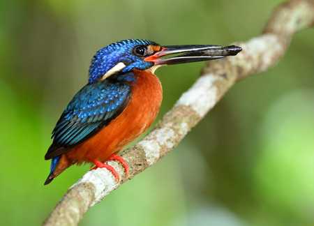 The male of Blue-eared kingfisher (Alcedo meninting) a little beautiful blue bird perching on the branch with fish in his bills to feeds its chicks