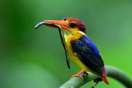 orange snake: Black-backed Kingfisher (Ceyx Erithaca) a red and orange bird perching on the bamboo branch carrying an earth snake to feed its chicks