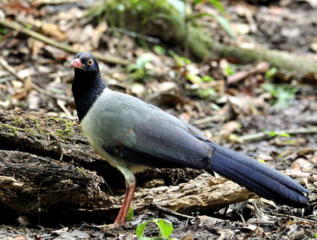 messed: Coral-billed ground cuckoo (Carpococcyx renauldi) the fine grey bird with pink bills standing on the messed ground