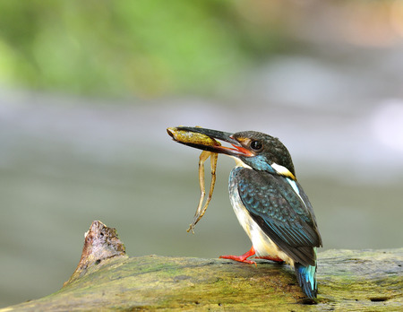alcedo: Male of Blue-Banded Kingfisher (Alcedo euryzona) the beautiful striped blue bird carrying frog in his mouth to feed his chicks