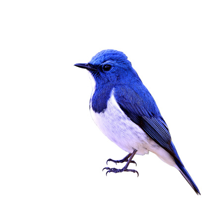 ultramarine blue: Ultramarine flycatcher or white-browed blue flycatcher (Ficedula superciliaris) the most beautiful tiny blue bird isolated on white background Stock Photo
