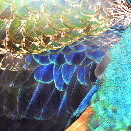 multi colors: The exotic multi colors on Indian Peacock body feathers, the most beautiful elvet bird feathers Stock Photo