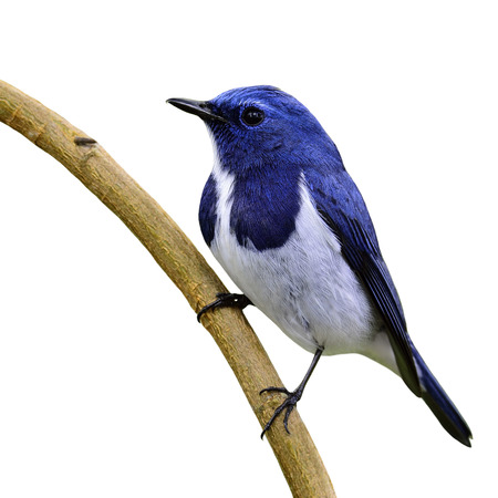 ultramarine blue: White-browed blue flycatcher or Ultramarine flycatcher (Ficedula superciliaris) the beautiful blue bird perching on the curve stick isolated on white background