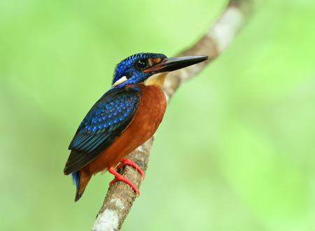 Male of blue-eared kingfisher (Alcedo meninting) sitting on the branch in front of his nest hole waiting for the female, the beautiful blue bird