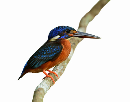 The female of Blue-eared kingfisher (Alcedo meninting) the beautiful blue bird standing on the vine branch isolated on white background