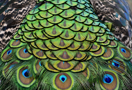 bird feathers: The exoticvelvet green on Indian Peacock body feathers, the most beautiful elvet bird feathers