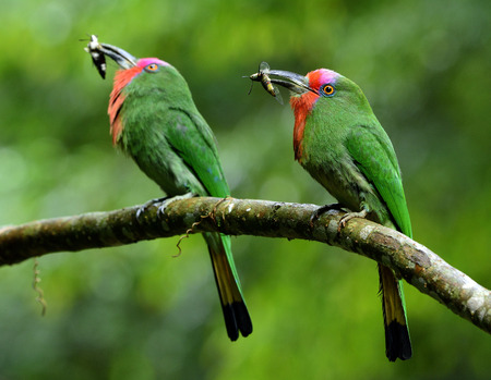 Parents of Red-bearded bee-eater (Nyctyornis amictus) beautiful green bird with red and pink mustache carrying insect in their long bills to feed  chicks in the nest hole Stock Photo