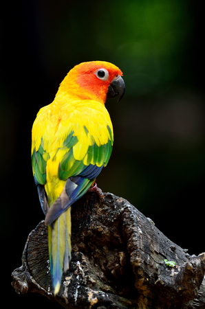 wil: Beautiful Sun parakeet or Sun conure (Aratinga solstitialis) the lovely yellow parrot perching on the log showing its back feathers