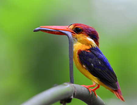orange snake: The Black-backed Kingfisher (Ceyx Erithaca) a beautiful vivid orange and red bird perching on the bamboo branch carrying long small snake to feed its chicks Stock Photo