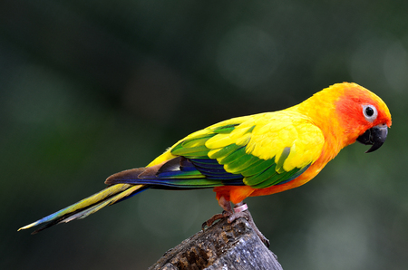 wil: Sun conure (Aratinga solstitialis) the lovely yellow parrot perching on the log showing its back feathers