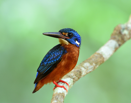 alcedo: Lovely blue bird perching on the branch on fine green blur background, the male of Blue-eared kingfisher (Alcedo meninting)