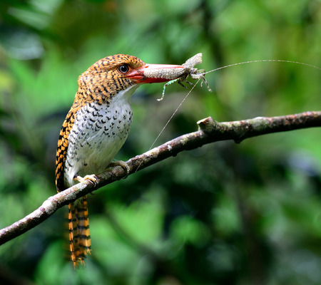 red bills: Female of Banded Kingfisher (Lacedo pulchella) the beautiful brown bird with big red bills carrying insect to feed her chicks Stock Photo