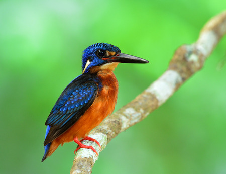 alcedo: The beautiful male of Blue-eared kingfisher (Alcedo meninting) a little blue bird lonely standing on the branch Stock Photo