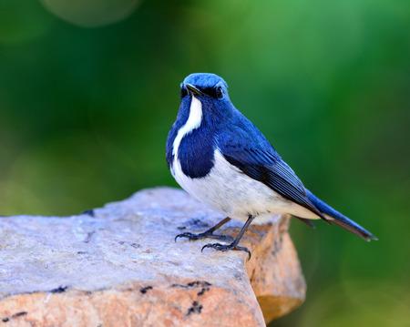 ultramarine: Ultramarine flycatcher or white-browed blue flycatcher (Ficedula superciliaris) beautiful little blue bird perching on the rock