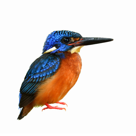 Male of Blue-eared kingfisher (Alcedo meninting) a little beautiful blue bird isolated on white background