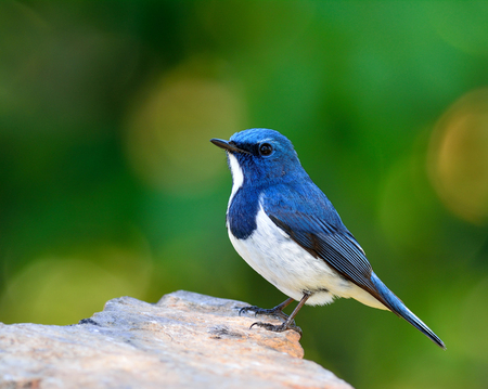 ultramarine blue: White-browed blue flycatcher or Ultramarine flycatcher (Ficedula superciliaris) the beautiful little blue bird perching on the rock with green blur background and bokeh showing its side and chest feathers