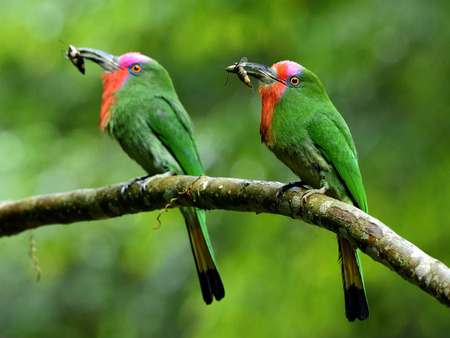 Pair of Red-bearded bee-eater (Nyctyornis amictus) beautiful parents green bird with red and pink mustache carrying insect in their long bills to feed the chicks in nest hole Stock Photo