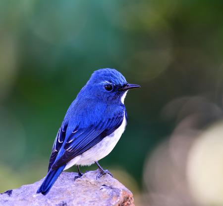 ultramarine: Ultramarine flycatcher or white-browed blue flycatcher (Ficedula superciliaris) beautiful little blue bird perching on the rock showing its fine blue back feathers